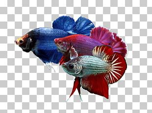 Siamese Fighting Fish Goldfish Breed Pet PNG