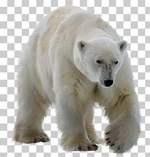 Polar Bear Kodiak Bear Ursinae PNG