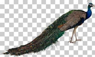Pavo Bird Feather Asiatic Peafowl PNG
