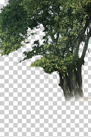 Tree Woody Plant Branch Trunk PNG