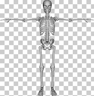 Human Skeleton Bone PNG