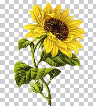 Common Sunflower Drawing Sketch PNG