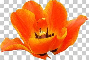 Flowering Plant Petal Tulip Flowering Plant PNG