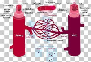 Blood Vessel Circulatory System Human Body Capillary PNG
