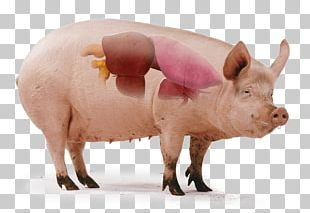 Domestic Pig Teat Science Tryne PNG