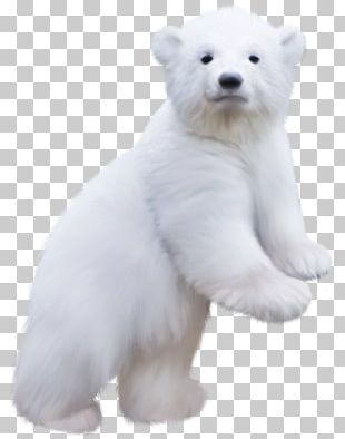 Baby Polar Bear Bears Of The World PNG