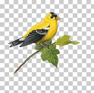 Bird Wall Decal European Goldfinch American Goldfinch PNG