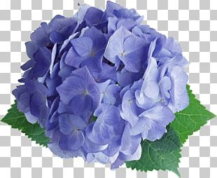 French Hydrangea Flower Photography PNG