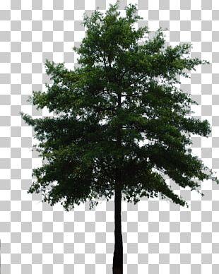 Branch Tree Fir Evergreen Arecaceae PNG