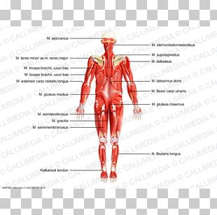 Muscle Nerve Homo Sapiens Human Body Nervous System PNG