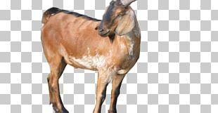 Jamnapari Goat Boer Goat Goat Farming Saanen Goat Ahuntz PNG