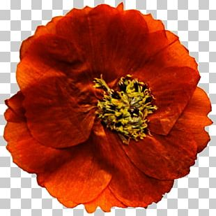 Mexican Marigold Flower Poppy Annual Plant PNG