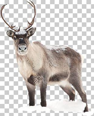 Reindeer Santa Claus Desktop Moose PNG