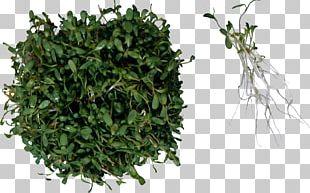 Sprouting Herb Food Salad Alfalfa PNG