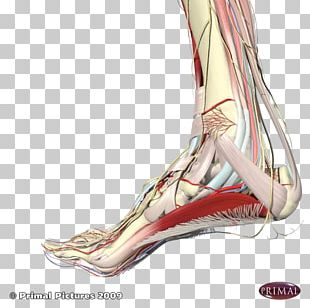 Plantar Fasciitis Foot Plantar Fascia Sole Achilles Tendon PNG