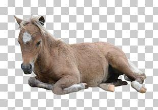 American Miniature Horse Pony American Paint Horse Arabian Horse Mustang PNG
