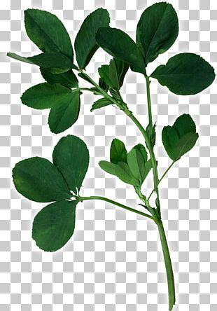 Alfalfa Leaflet Seed PNG