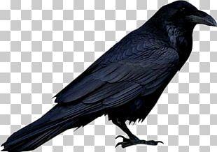 American Crow Bird New Caledonian Crow Crow Family PNG