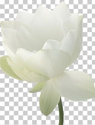 Rose Family Magnolia Family Cut Flowers Petal PNG