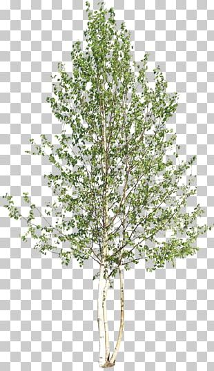 Tree Woody Plant Shrub PNG