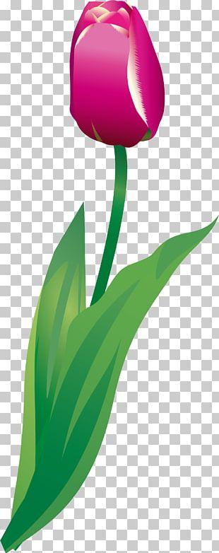 Tulip Petal Plant Stem Green PNG