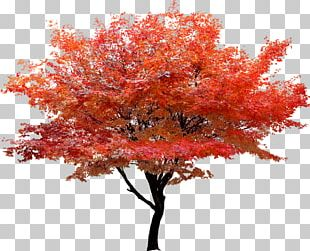 Red Maple Tree Autumn Leaf Color PNG