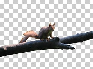 Red Squirrel Rodent Bird Tree Squirrel PNG