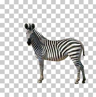 Horses Zebra Donkey PNG