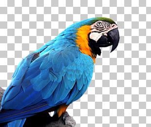 Parrot Bird Budgerigar Blue-and-yellow Macaw Hyacinth Macaw PNG