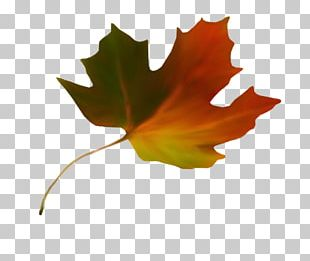 Maple Leaf Autumn Leaf Color Stock.xchng PNG