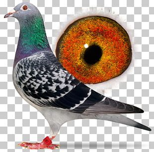 Racing Homer Columbidae Homing Pigeon Beak Fancy Pigeon PNG