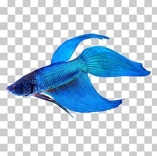 Siamese Fighting Fish Veiltail Tropical Fish Aquarium PNG