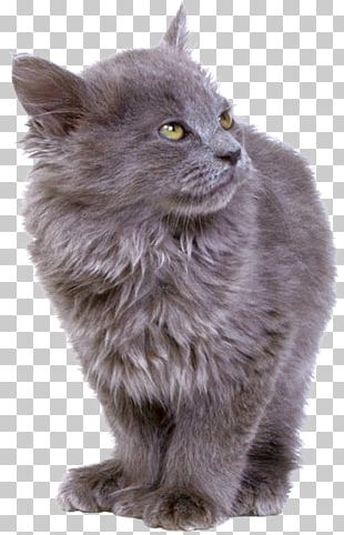 Asian Semi-longhair Siberian Cat Persian Cat Maine Coon Malayan Cat PNG
