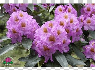 Rhododendron Violet Annual Plant Herbaceous Plant Shrub PNG
