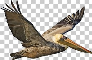Bird Peruvian Pelican American White Pelican Eastern Brown Pelican PNG