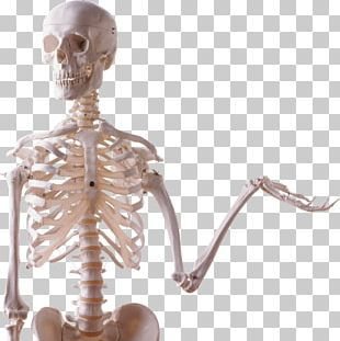Human Skeleton Human Body Bone Skull PNG
