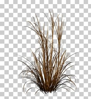 Ornamental Grass Fountain Grass Ornamental Plant PNG