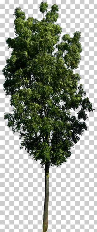 Quercus Acutissima Tree 3D Computer Graphics Wavefront .obj File .dwg PNG