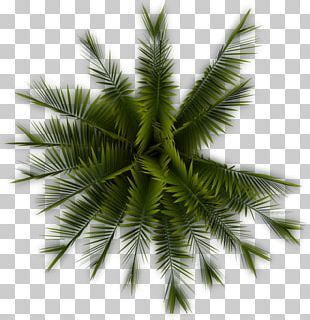 Tree Arecaceae Plant PNG
