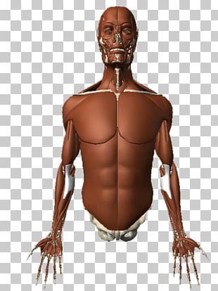 Homo Sapiens Muscle Human Body Muscular System Human Anatomy PNG