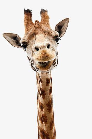Giraffe Head Out PNG