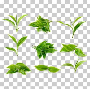 Green Tea Stock Photography Tea Processing PNG