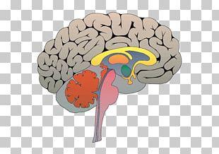 Social Neuroscience Triune Brain Emotion PNG
