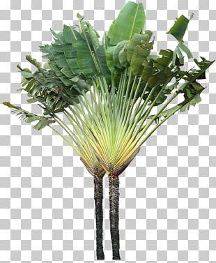 Tree Arecaceae Ravenala Madagascariensis Plant PNG