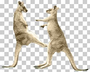Red Kangaroo Boxing Kangaroo Tail Kick PNG