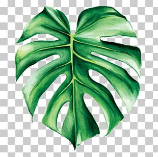 Swiss Cheese Plant Watercolor Painting Leaf Tropics PNG