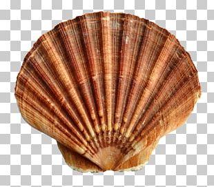 Seashell Scallop PNG