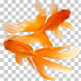 Koi Comet Ryukin Fish Aquarium PNG