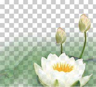 Nelumbo Nucifera Lotus Euclidean PNG