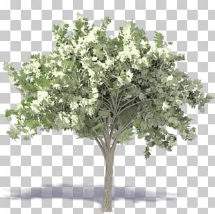 Populus Nigra Tree Plant Landscape Architecture PNG